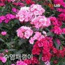 채소나라 수염패랭이 야생화 씨앗 1kg