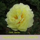 개량접목꽃목단(바츠라) 2~3촉뿌리묘