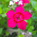 야생화씨앗 패랭이꽃 1kg 대용량 산들파크